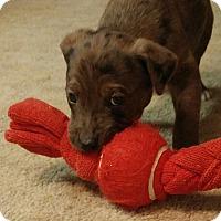 Adopt A Pet :: Bo - Bernardston, MA