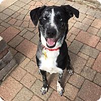 Adopt A Pet :: Daisy - Sugar Grove, IL
