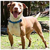 Adopt A Pet :: Rachel - Forked River, NJ