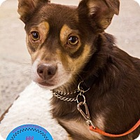 Chihuahua/Spaniel (Unknown Type) Mix Dog for adoption in Staten Island, New York - Brownie