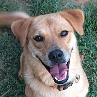 Shar Pei/Labrador Retriever Mix Dog for adoption in Albemarle, North Carolina - Ruby