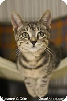 Domestic Shorthair Cat for adoption in New Orleans, Louisiana - Louise