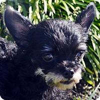 Adopt A Pet :: Timber - Bridgeton, MO