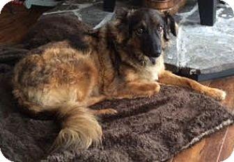 Collie Mix Dog for adoption in Cambridge, Ontario - Laika