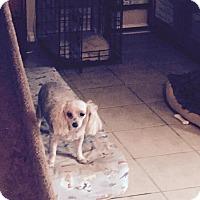 Adopt A Pet :: Skye - FORT WORTH, TX