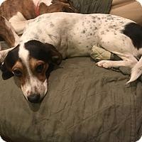Adopt A Pet :: Violet - Baltimore, MD