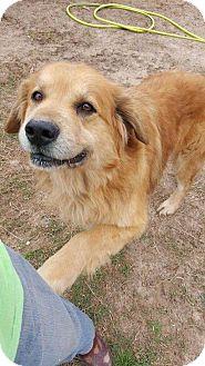 Golden Retriever/Great Pyrenees Mix Dog for adoption in Boulder, Colorado - Pete