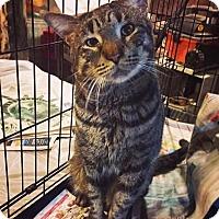 Adopt A Pet :: Toby - Brooklyn, NY