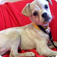 Adopt A Pet :: Butters - Phoenix, AZ