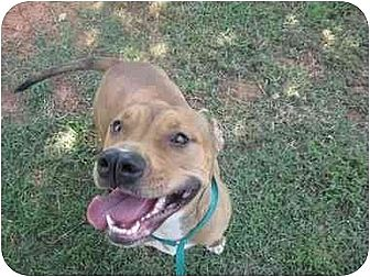 American Pit Bull Terrier Mix Dog for adoption in Blanchard, Oklahoma - Libby
