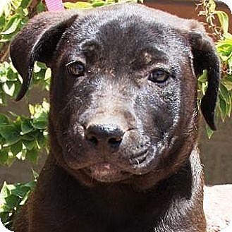 German Shepherd Dog Mix Puppy for adoption in Gilbert, Arizona - Sioa