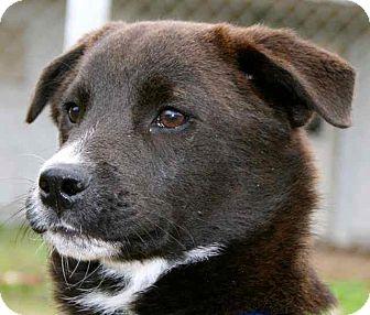 Labrador Retriever/Border Collie Mix Puppy for adoption in Gainesville, Florida - Prince Charming