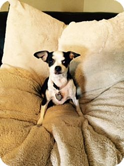 Chihuahua Dog for adoption in Troy, Missouri - Molly
