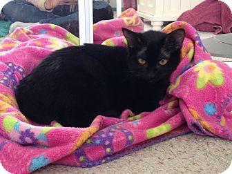 Domestic Shorthair Kitten for adoption in Anaheim Hills, California - Sunny