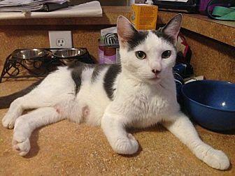 Domestic Shorthair Cat for adoption in Trevose, Pennsylvania - Mina