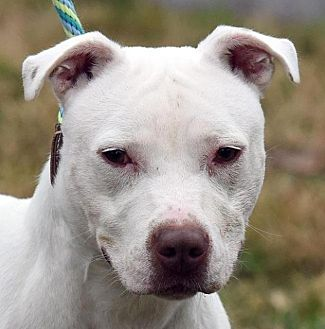American Pit Bull Terrier Mix Dog for adoption in New Haven, Connecticut - GEISHA