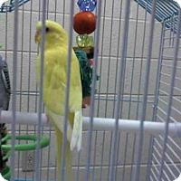 Adopt A Pet :: CONFETTI - Pittsburgh, PA