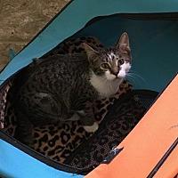 Adopt A Pet :: Sugar Cookie - Crestview, FL