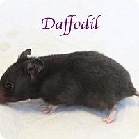 Adopt A Pet :: Daffodil - Bradenton, FL