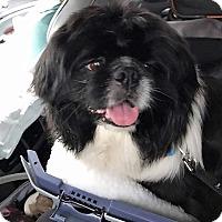 Adopt A Pet :: Chopper - Portland, ME
