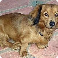 Adopt A Pet :: Sweets - San Jose, CA