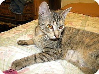 Domestic Shorthair Cat for adoption in Tampa, Florida - Dee