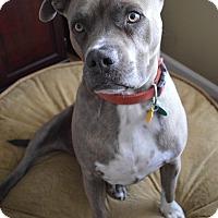 Adopt A Pet :: Brutis - Aurora, CO