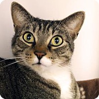 Domestic Shorthair Cat for adoption in Bellevue, Washington - Jasper