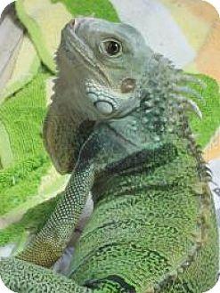 Iguana for adoption in Quilcene, Washington - Jabberwocky