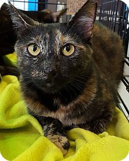 Domestic Shorthair Cat for adoption in Gilbert, Arizona - Maddy