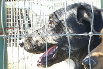 Labrador Retriever/Spaniel (Unknown Type) Mix Dog for adoption in Mexia, Texas - Raquel