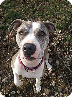 Pit Bull Terrier Mix Dog for adoption in Dayton, Ohio - Anika