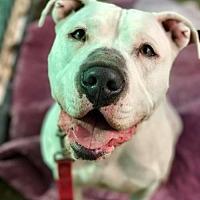 American Bulldog/American Pit Bull Terrier Mix Dog for adoption in Orange, California - Gorgeous Gonzo