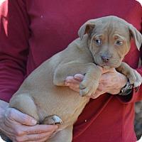 Adopt A Pet :: Rachel - Sparta, NJ