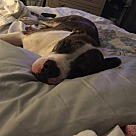 Adopt A Pet :: Ozzy