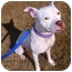 """Photo 2 - American Pit Bull Terrier/Terrier (Unknown Type, Medium) Mix Dog for adoption in Phoenix, Arizona - """"Marley""""COURTESY POST"""