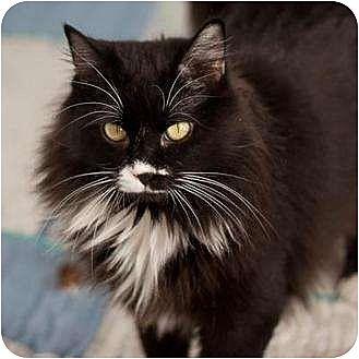 Domestic Longhair Cat for adoption in Denver, Colorado - Mabel
