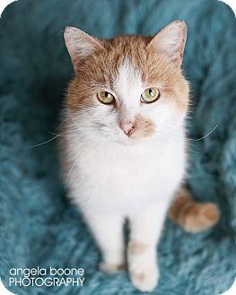 Domestic Shorthair Cat for adoption in Eagan, Minnesota - Tyson