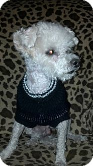 Maltese/Poodle (Miniature) Mix Dog for adoption in Las Vegas, Nevada - Giggy