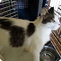 Domestic Longhair Cat for adoption in Chesterfield, Virginia - Lucy