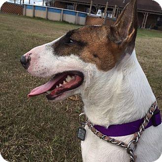 Bull Terrier Dog for adoption in Houston, Texas - Brock