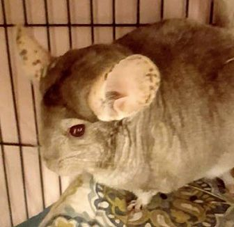 Chinchilla for adoption in Patchogue, New York - Abba