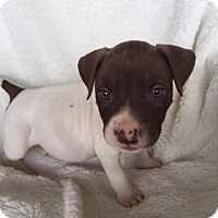 Adopt A Pet :: Hera - Huntsville, AL