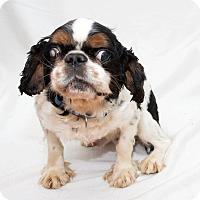 Adopt A Pet :: Moe - Cumberland, MD
