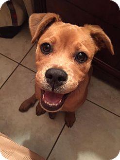 Boxer Mix Puppy for adoption in Davie, Florida - Bailey