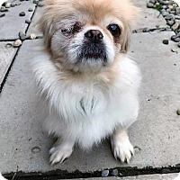Adopt A Pet :: Lainie - Buffalo, NY