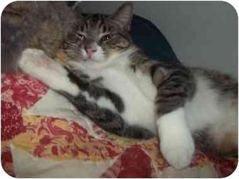 Domestic Shorthair Cat for adoption in Little Neck, New York - little man