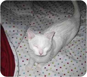 Domestic Shorthair Cat for adoption in Montreal, Quebec - Snowball