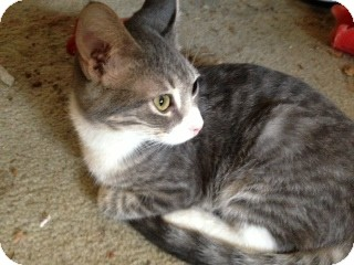 American Shorthair Cat for adoption in Weatherford, Texas - Princess
