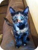 Domestic Shorthair Cat for adoption in Horsham, Pennsylvania - Emily